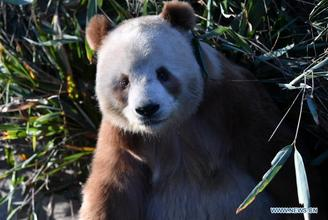 Qizai, a rare brown and white giant panda, is seen at Qinling Research Base of Giant Panda Breeding of Shaanxi Academy of Forestry in Xi'an, Shaanxi province.