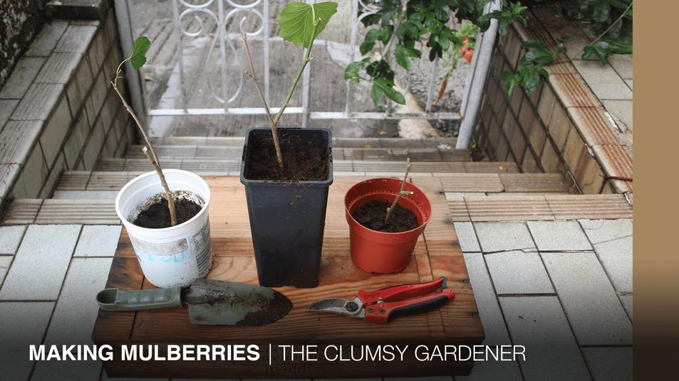 CLUMSY GARDENER |Making Mulberries