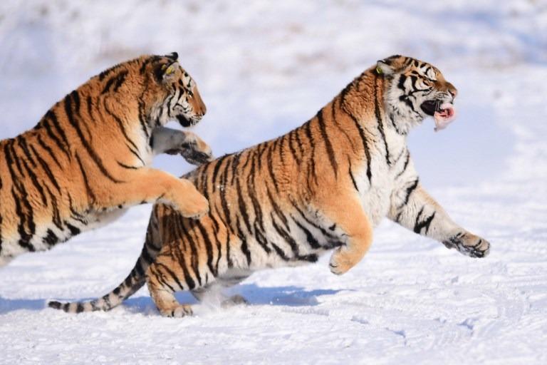 Panthera tiger trade