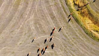 With an area of 240 hectares, Jinma'an, or Golden Saddle, ranch is a modern farm run by Erkhem and his family in Zhenglan Banner, Xiliin Gol League in the Inner Mongolia autonomous region.
