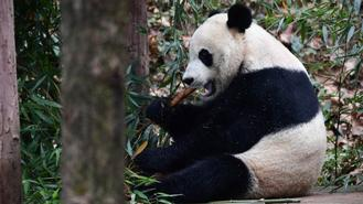 US-born male giant panda Bei Bei makes its debut at the Bifengxia Giant Panda Base in Ya'an, Sichuan province, on Nov 21, 2019, after returning to China.