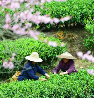 Some farmers started to plant vegetables while others harvested tea leaves across China.