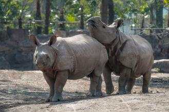 The pair of endangered Asian rhinoceroses were gifted to Shanghai by Nepal.