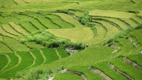 Bhutan paddy fields