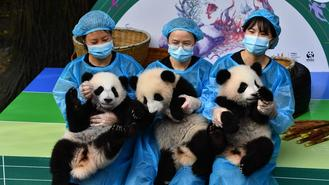 Giant panda cubs greeted visitors ahead of the upcoming National Day holiday at the Chengdu Research Base of Giant Panda Breeding in Sichuan on Tuesday.
