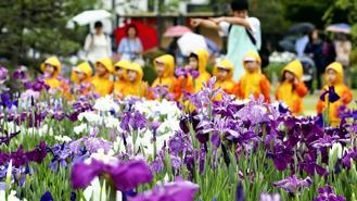 Japanese irises are in full bloom at Horikiri Shobuen park in Katsushika ward, Tokyo, amid the rainy season in the Kanto-Koshin region.