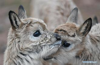 Tibetan antelope calves are seen at the Zhuonai Lake protection station in Hol Xil, northwest China's Qinghai province.