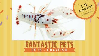 If the only time you've seen crayfish, is on the dining table in some yummy hot and spicy dish, then you need to watch this video. Crayfish has value even beyond a meal. Their brilliant colors have made them a favorite at aquariums and at HK$200,000-- they're not a cheap sight.