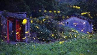 "Fireflies lighted their twinkling ""lanterns"" in the wooded valley of Sha Lo Tung in Tai Po district."
