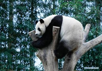 Chinese male giant panda Le Bao is seen at the Panda World of Everland Resort in the city of Yongin,