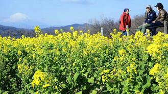 Rapeseed plants put on their springtime best as the yellow flowers bloomed early at Azumayama Park in Ninomiya, Kanagawa Prefecture, Japan.
