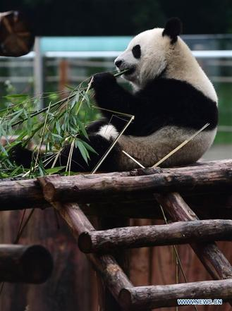 Siberian Tiger park has adjusted panda' diets and built an resting place and pond, helping them to fend off the summer heatwave in Jilin.