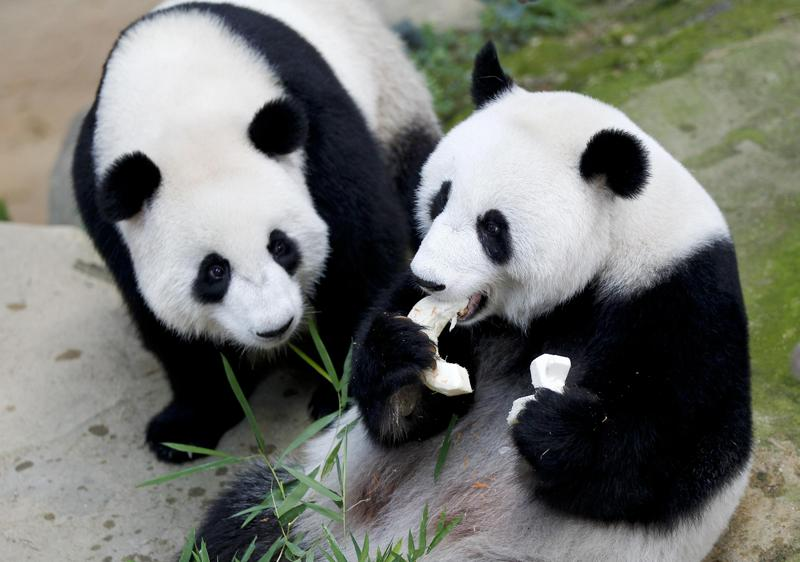 Malaysia Celebrates Birthday Of Giant Pandas Photo China Daily
